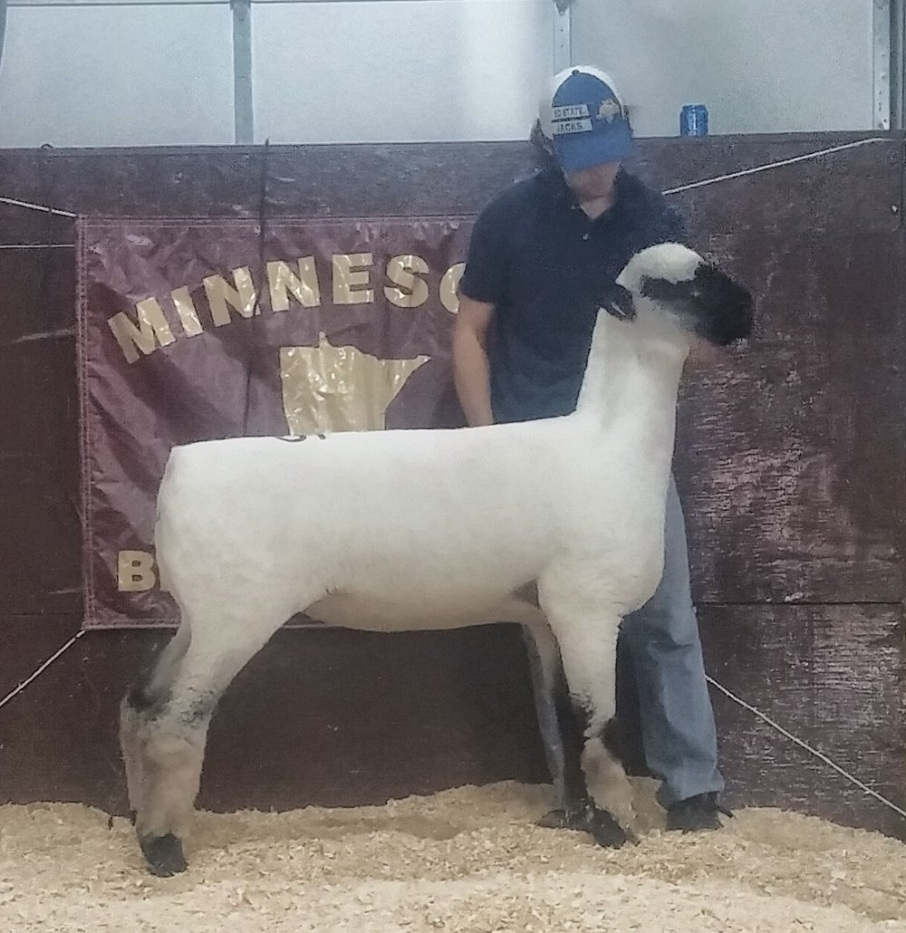 The 2016 Minnesota Bred Ewe Sale Reserve Champion Hampshire was a January lamb entered by Ram'n Acres/Rodney Scheller. She sold to Christian Tifft of Spirit Lake, Iowa for $1100.