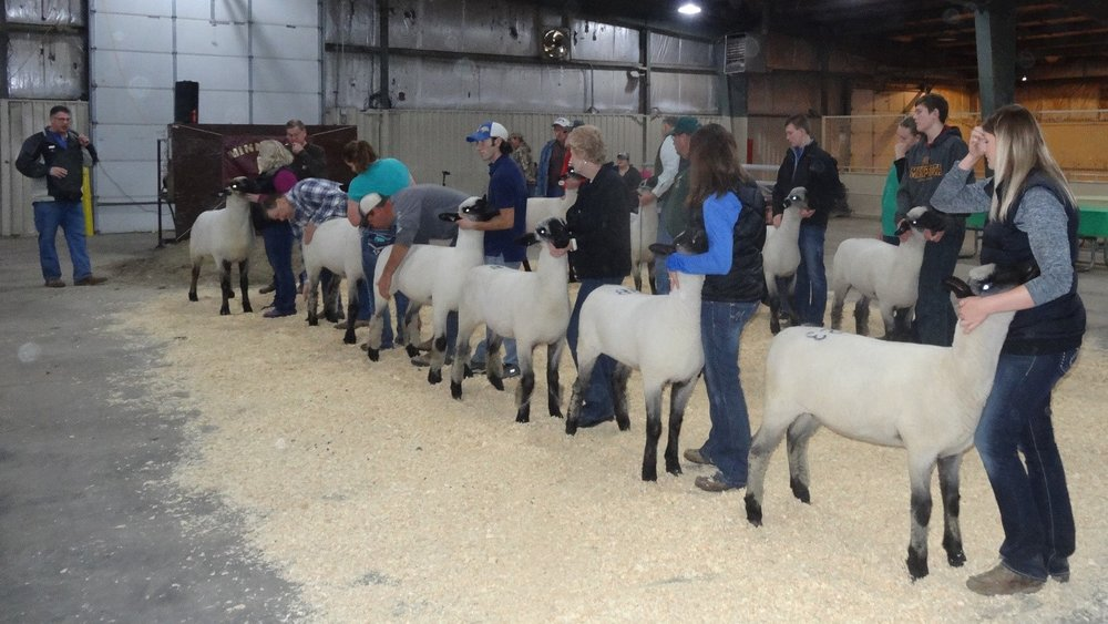 Judge Rex Quam (left) comments on the first place Hampshire class entries competing for Grand and Reserve Championships at the 2016 Minnesota Bred Ewe Sale. From left, Brood Ewe-Promise Kept Farm, Cannon Falls, MN; Yearling Ewe-Randy Dombek Family, Ivanhoe, MN; January Ewe Lamb-Ram'n Acres, Monticello, MN: February Ewe lamb-Gene & Marci Sanford, Faribault, MN; March Ewe Lamb-Randy Dombek Family, Ivanhoe, MN; and April Ewe Lamb-Reid Merrill-Canby, MN.