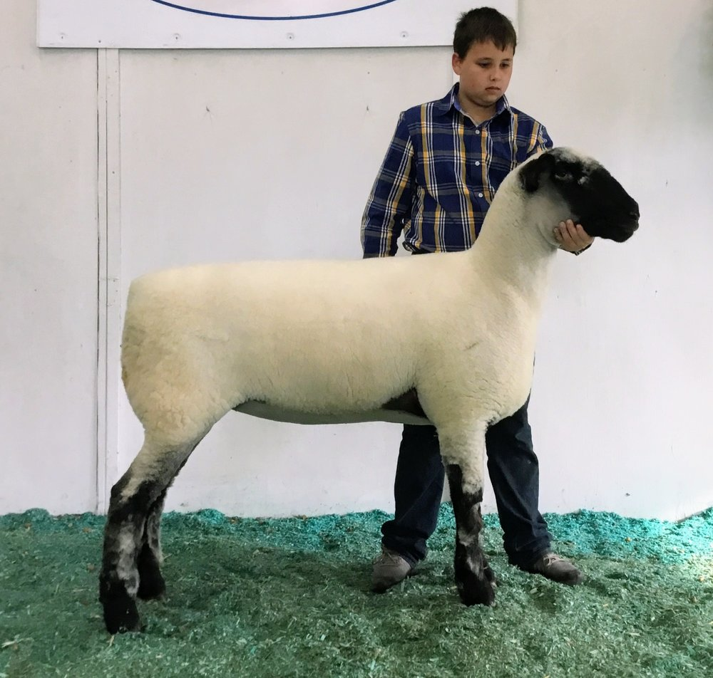 Champion Ewe -Klug HH 16-198