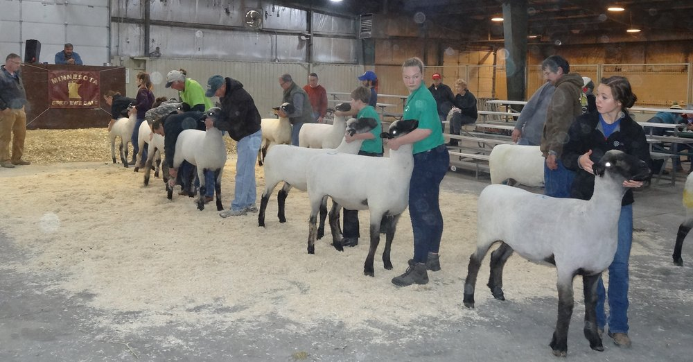 Judge Rex Quam (left) studying the first place Hampshire class entries competing for Grand and Reserve Championships at the 2017 Minnesota Bred Ewe Sale. From right, Brood Ewe-Promise Kept Farm, Cannon Falls, MN; Yearling Ewe-Greenway Farms, Beldenville, WI; Fall Ewe-Greenway Farms, Beldenville, WI; January Ewe Lamb-Bobendrier Hampshires, Pipestone, MN: February Ewe lamb-Reid Merrill-Canby, MN; March Ewe Lamb-Highland Hampshires, Harlan, IA; and April Ewe Lamb-Reid Merrill-Canby, MN.