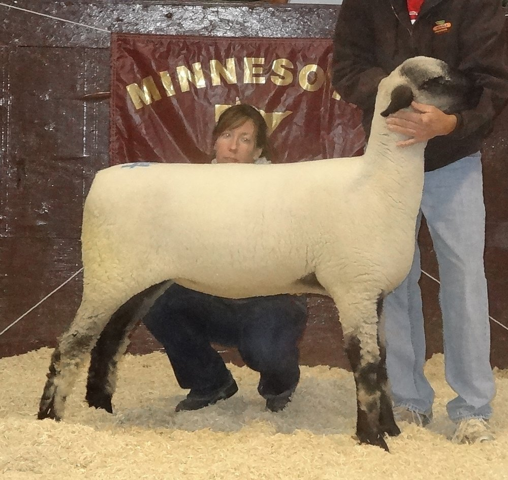 The 2017 Minnesota Bred Ewe Sale Reserve Champion was consigned by the Bobendrier Hampshires of Pipestone  , MN and sold to Promise Kept Farm (Tim & Kathy Coss & Family) of Cannon Falls, MN for $825.