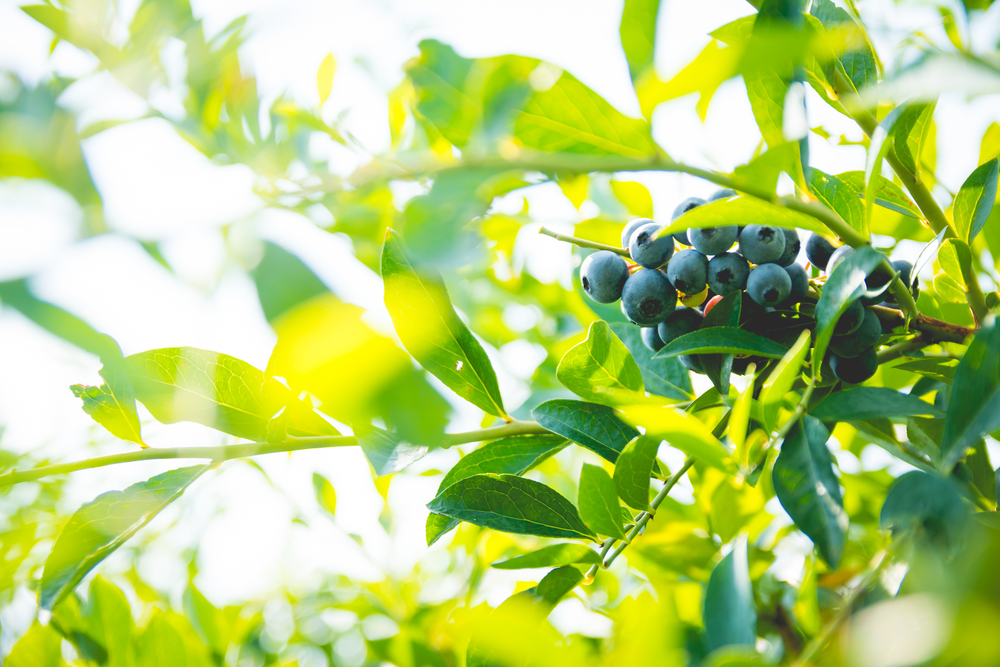 Blueberries-3.jpg