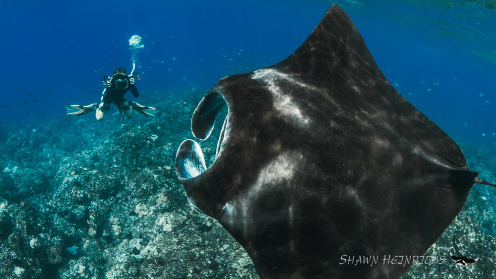 Alex and the Canon 1DC watch a giant reef manta soar over a cleaning station in Kona, HI.