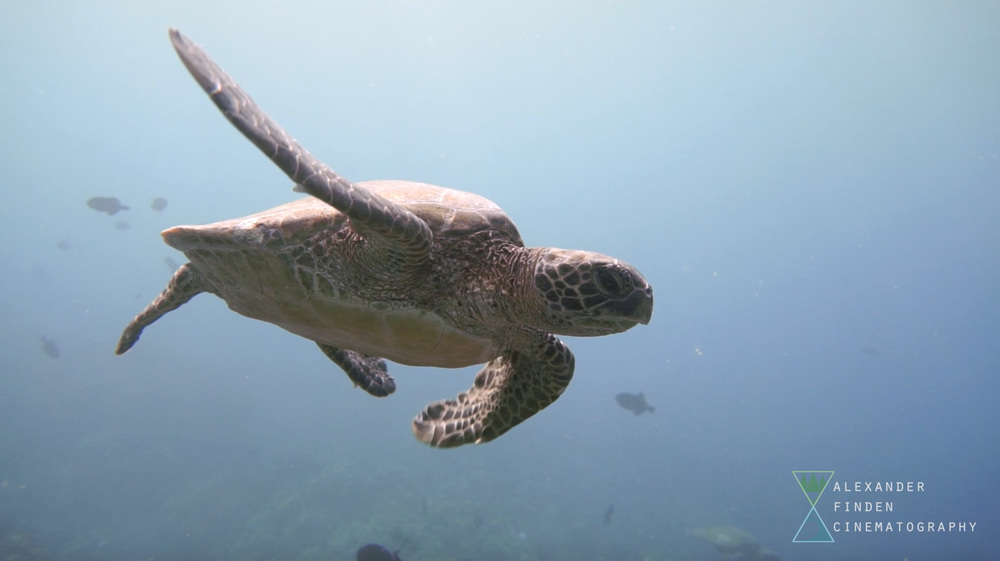 A green sea turtle from Lele'iwi, one of the most popular sites on the Keaukaha coastline for diving.