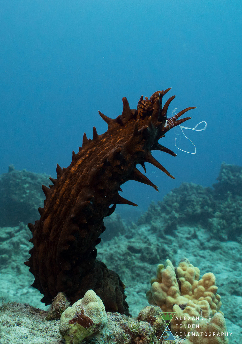 "A sea cucumber ""standing upright"" and releasing gametes into the water column."