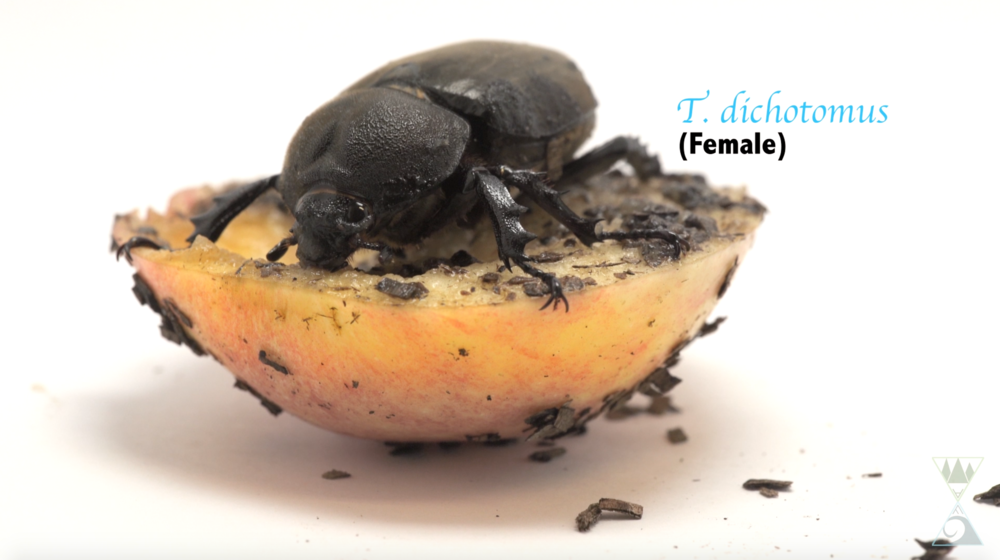Happily sitting on a piece of overripe fruit, a female Asian Rhinoceros Beetle (T. dichotomus)