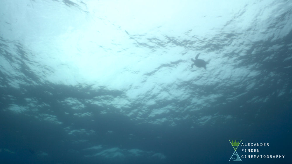 "A still frame from ""Dive One"" of a sea turtle breathing at the surface."