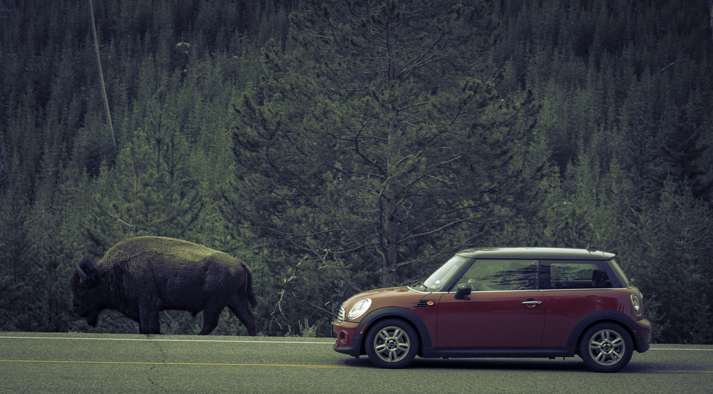 Bison and Mini - Yellowstone National Park, WY