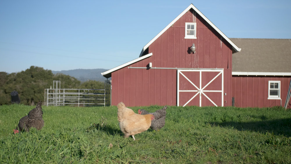 Chickens And A Barn.jpg