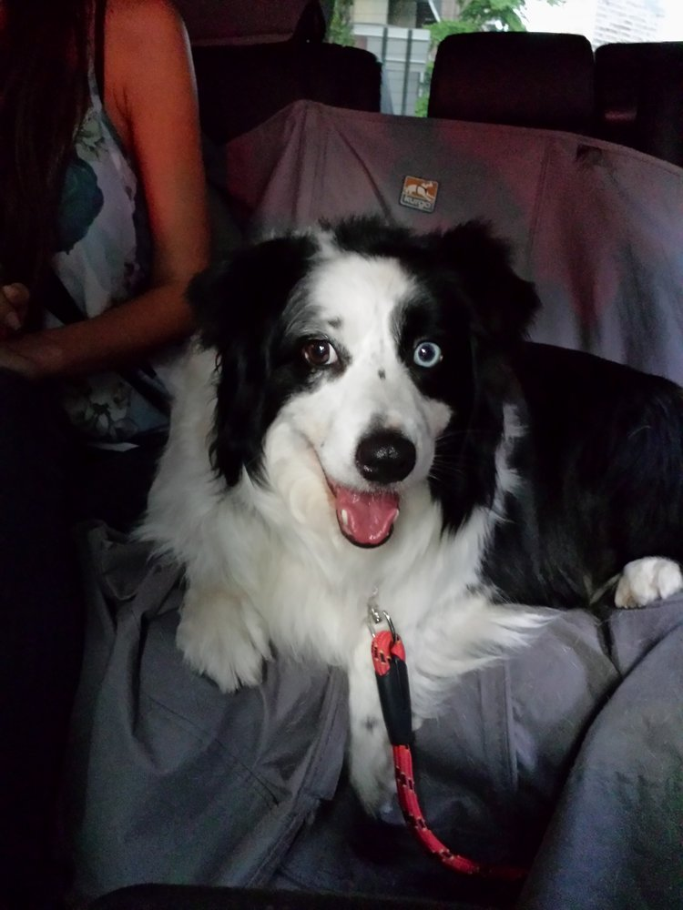Oreo riding backseat in the Canine Car :)