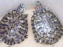 Turtle Twins