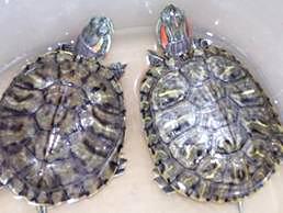 Turtle Twins