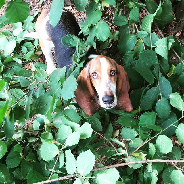 Huckleberry, Hound of the Jungle 🌿🌲🐾🍃🌳