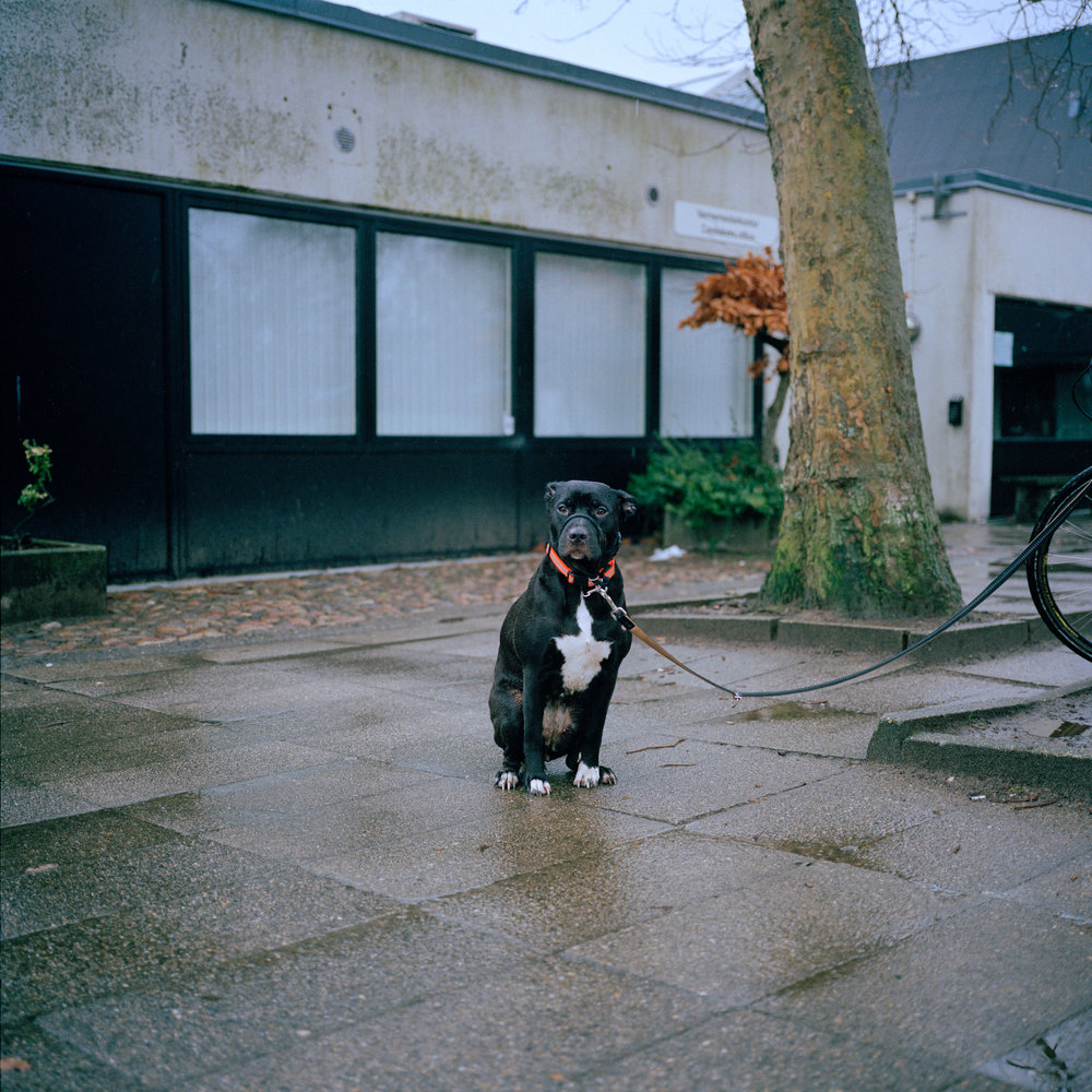 3/19/17 – Aarhus, Nordjylland – A whimpering dog looks into my camera at Skjoldhøjkollegiet on Sunday, Mar. 19, 2017. (Photo by Nicholas Pfosi)This photo was made with Kodak Portra 400 120 film using a Mamiya 6x6 medium format camera borrowed from DMJX as part of a project on LGBT refugees. This image was part of a test roll to evaluate the limitations of the film.