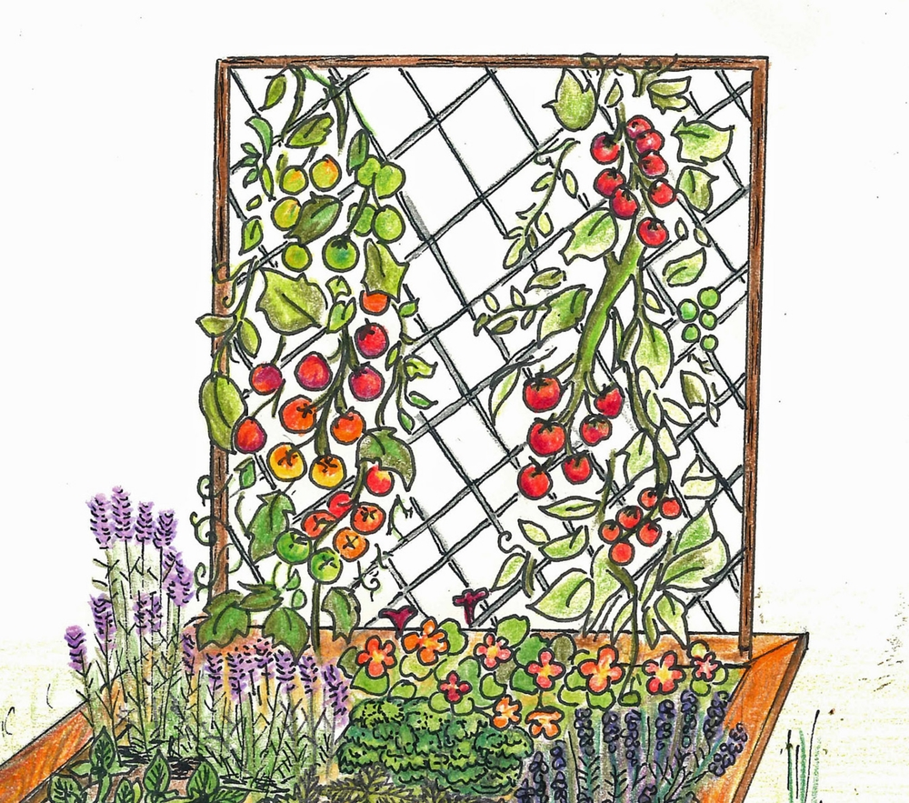 The trellis supports 'slicing tomatoes' as they ripen on the vine. artwork by rachel davis
