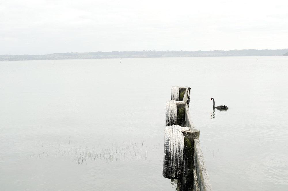 black-swan_rotorua 2010 Bruce Foster.jpg