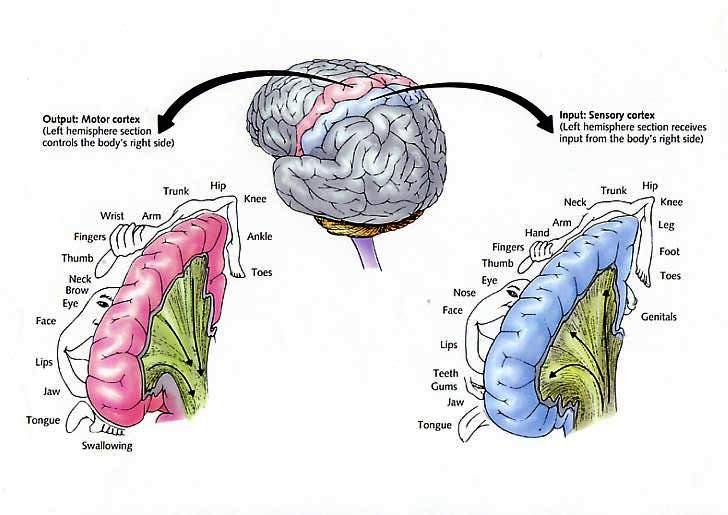 1_sensory_homunculus.jpg