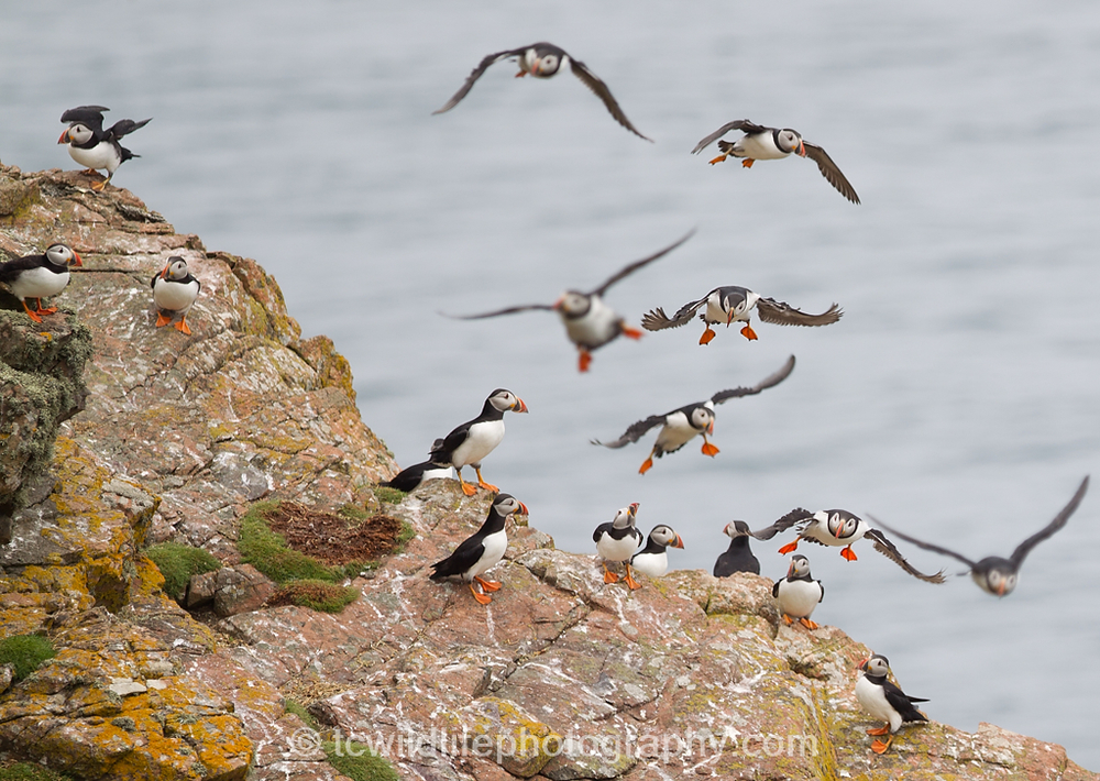 This group took flight and circled after a Peregrine was spotted