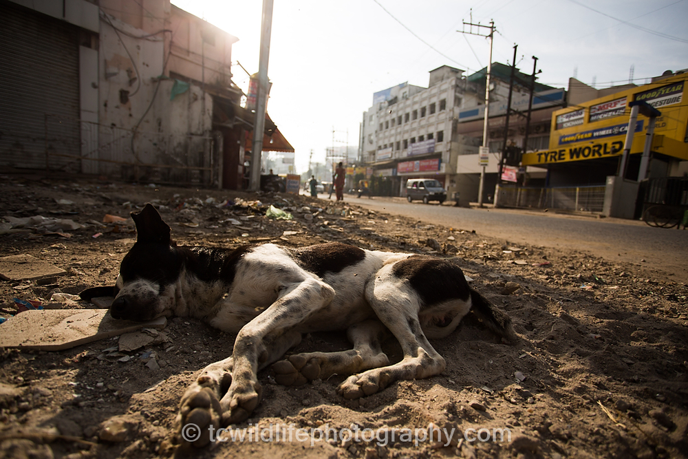 Moving through the cities, we see many stray dogs struggling for existence. This one was fortunately, asleep.