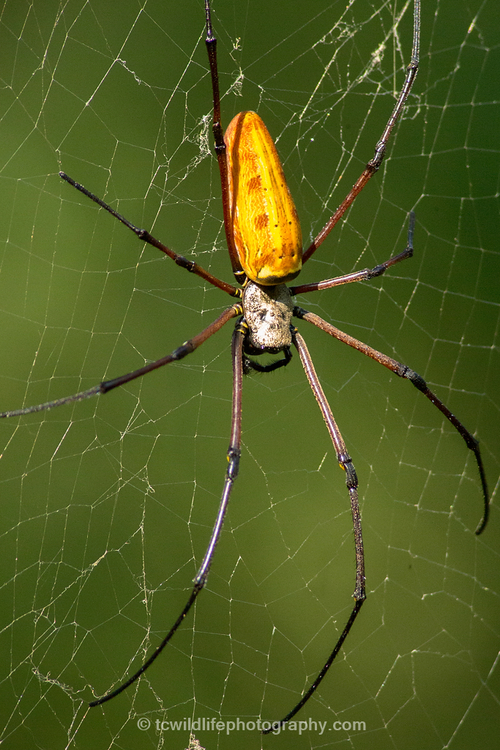 We made a point to capture the beauty of all the flora and fauna of the parks, as the story bring told is not only of the tiger. Here is a beautiful Golden Orb spider, that weaves webs almost 2m wide.