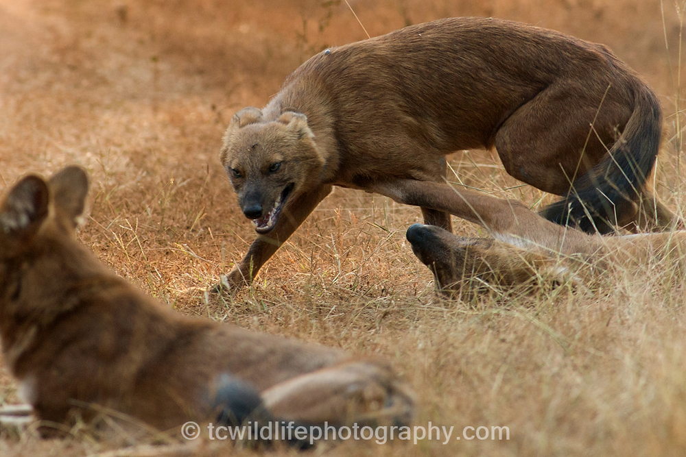 We were fortunate to find a rare family of Dhole in Tadoba and spend a significant time period with the.