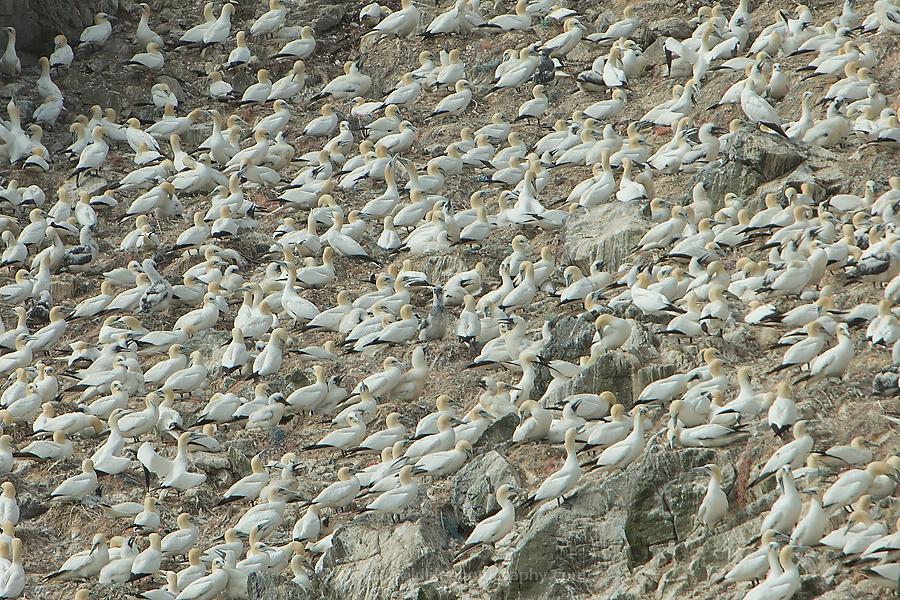 Around 40000 northern gannets breed here