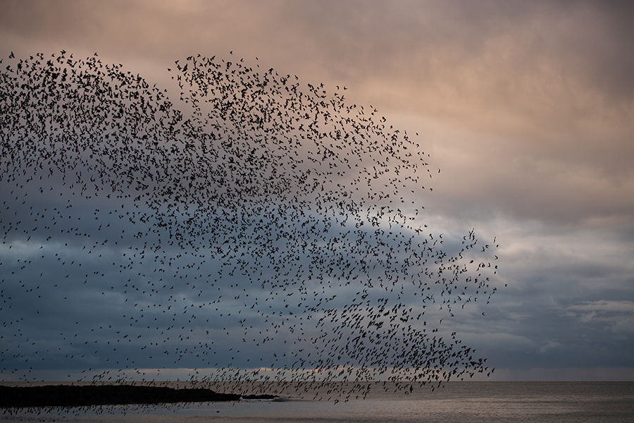 The starlings finally arrived and took to the air.