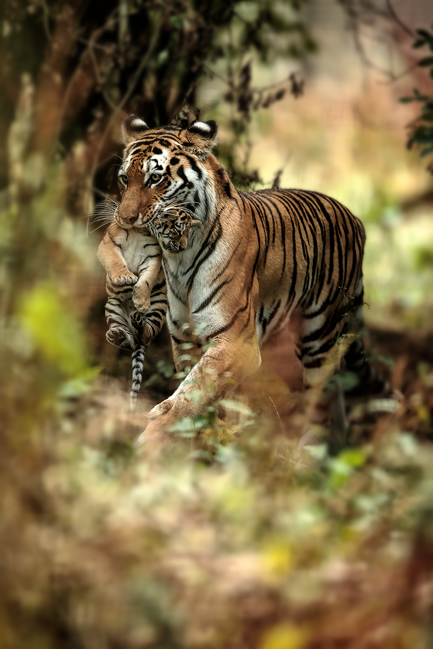 The mother carries her cub to a shaded area. 400mm f2.8, 1dx.