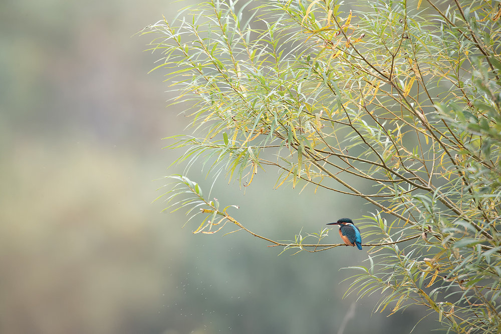 On one of the days, a gentle mist helped isolate the kingfisher from a competing background. 1dx, 800mm f5.6.
