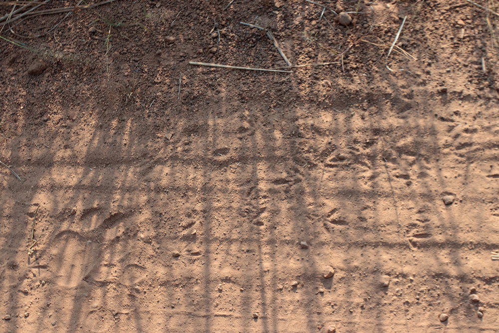 Tracks can also give clues to other species movement