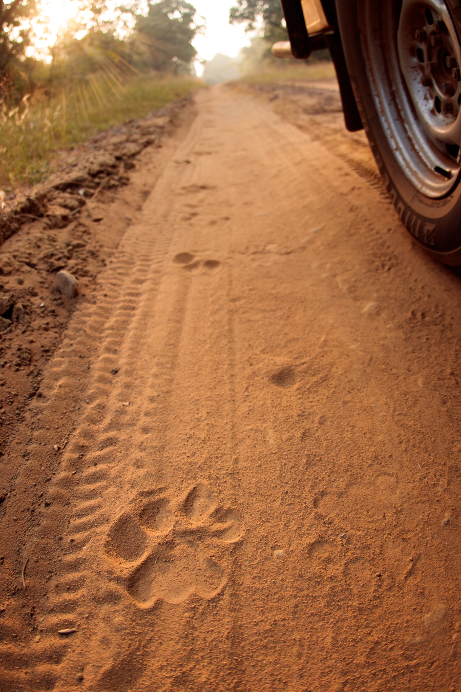 Some cats are very shy and often wait for the jeep to pass by and then reveal themselves…