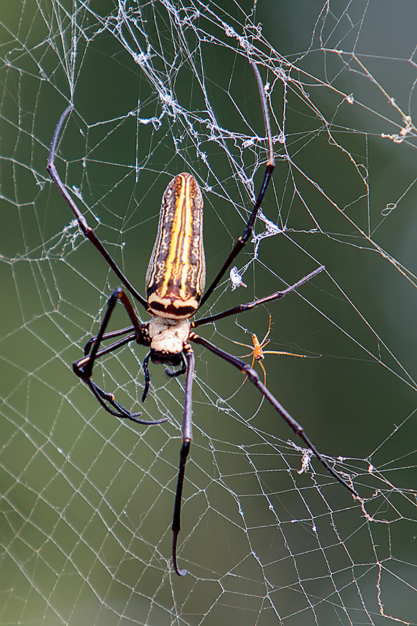 A beautiful golden orb spider. These can be found on huge webs throughout the forest, especially post monsoon. The male is the one on the right! Canon 5d mk iii, 70-200mm f2.8