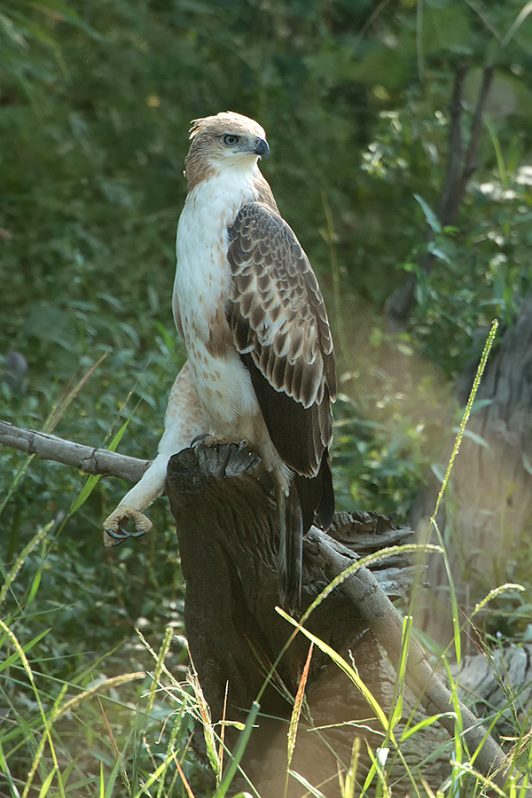 A stunning changable hawk eagle resting by a large lake. 1DX, 800mm f5.6.