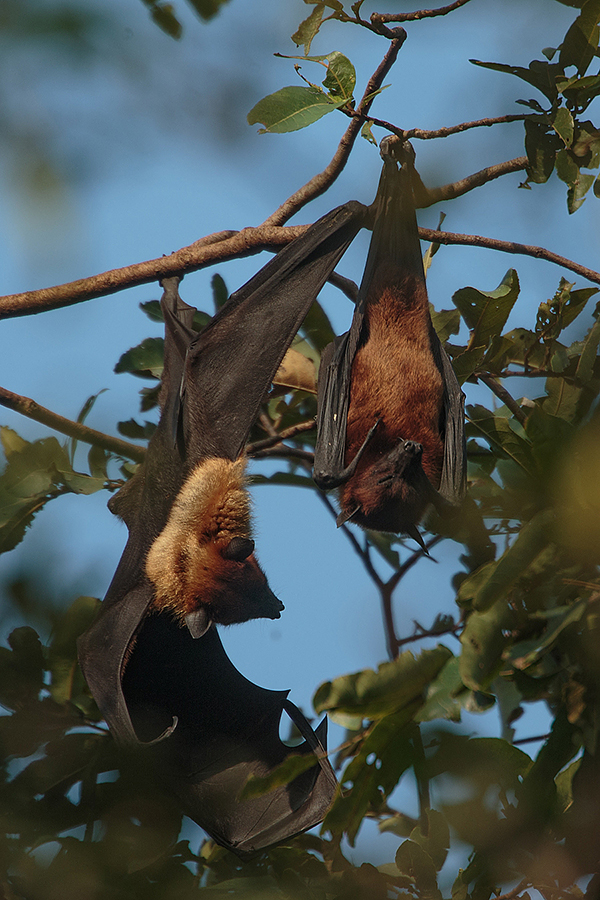 Flying foxes, 800mm f5.6 1DX