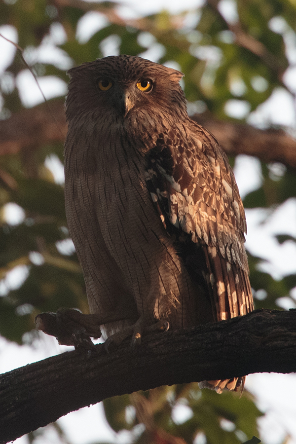 A huge brown fish owl with the remains of a meal, 800mm f5.6, 1DX