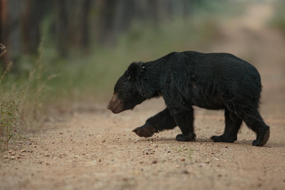 A sloth bear, 400mm f2.8, 1DX
