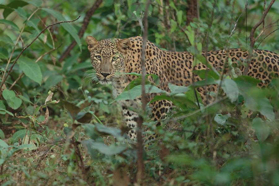 A beautiful cat, the leopard. 400mm f2.8, 1DX