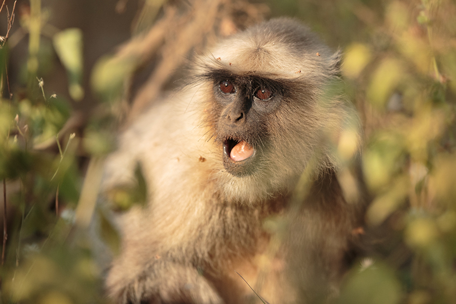 A langur monkey about to sound an alarm call.