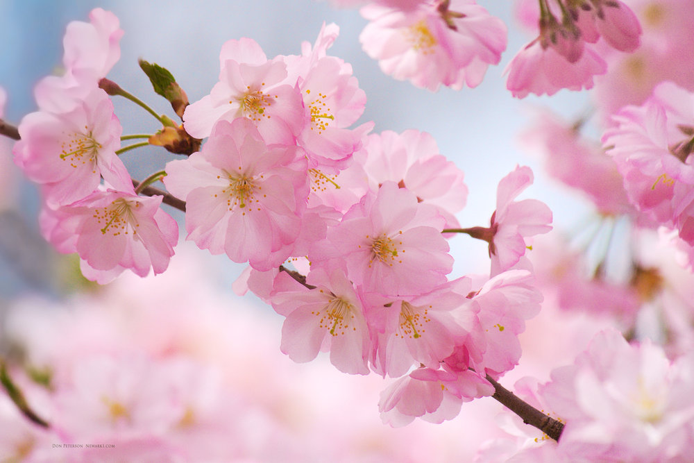 cherry-blossoms-wallpaper-1.jpg