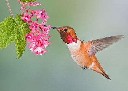 Rufous Hummingbird ( Selasphorus rufus ) feeding at a Red Currant plant (www.birdfellow.com)