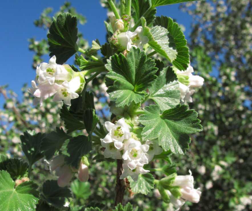 Wax currant ( Ribes cereum ), the first shrub to bloom