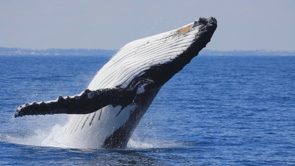 Humpback whales are just one of the many species to frequent the waters off Sri Lanka