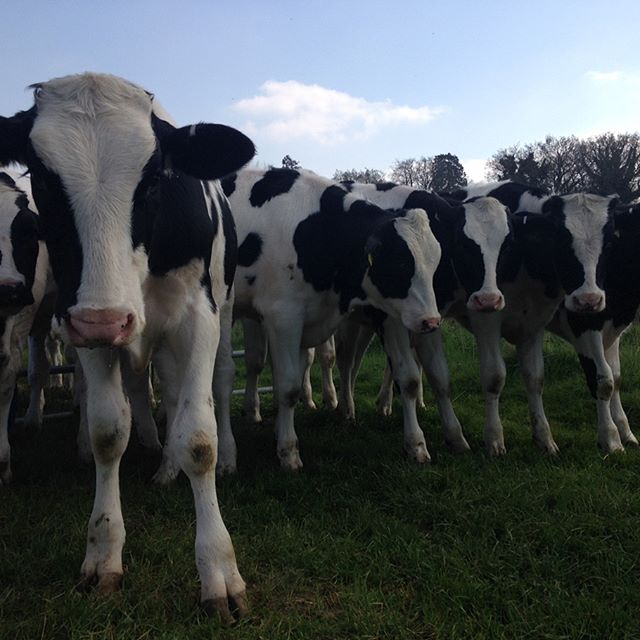#sunnyday #happycows #dorset #farmlife #harrystreetmeats