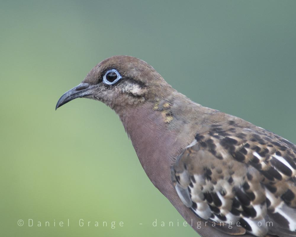 Galapogos-Dove.jpg