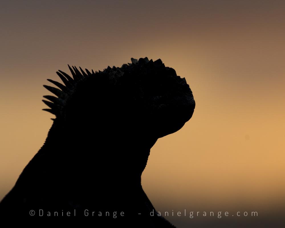 Marine-Iguana-Silhouette.jpg
