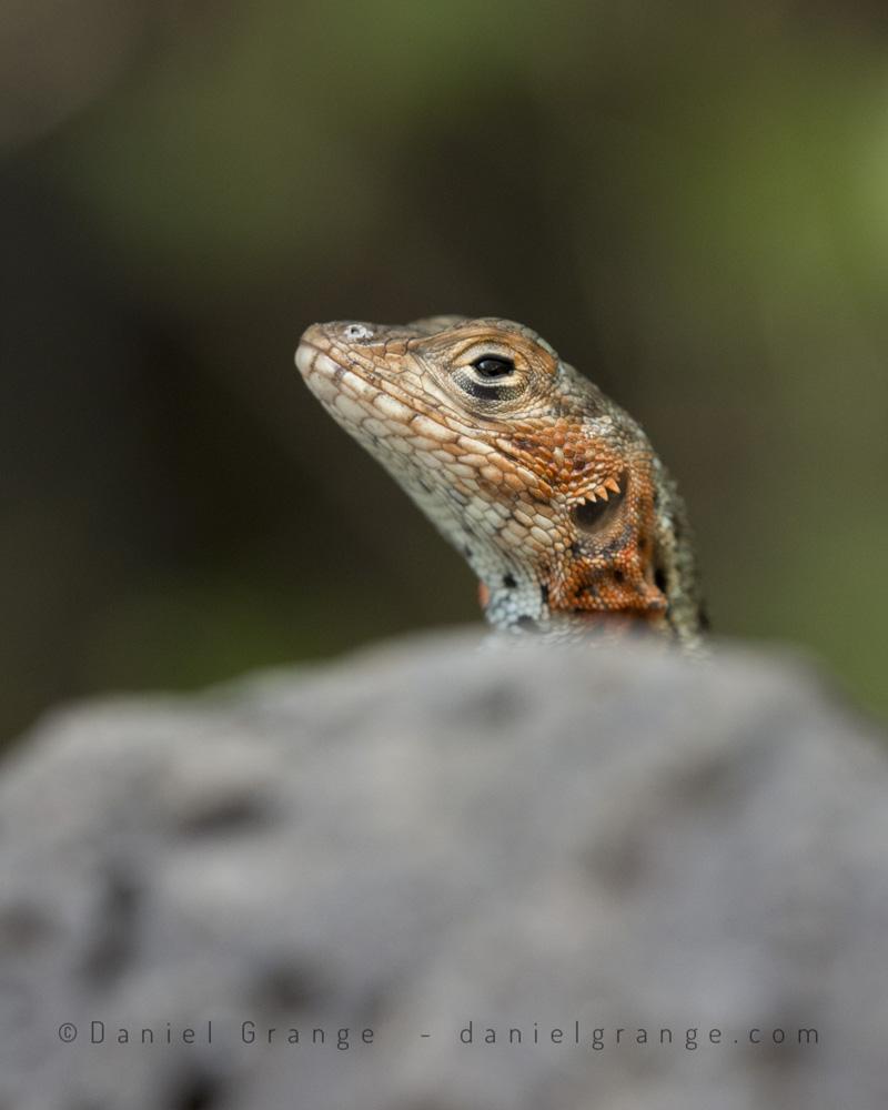 Lava-Lizard.jpg