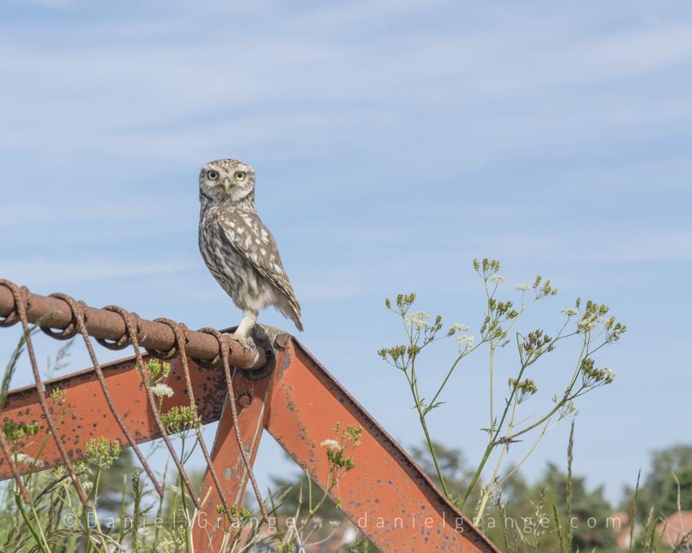 Little-Owl-on-Combine.jpg