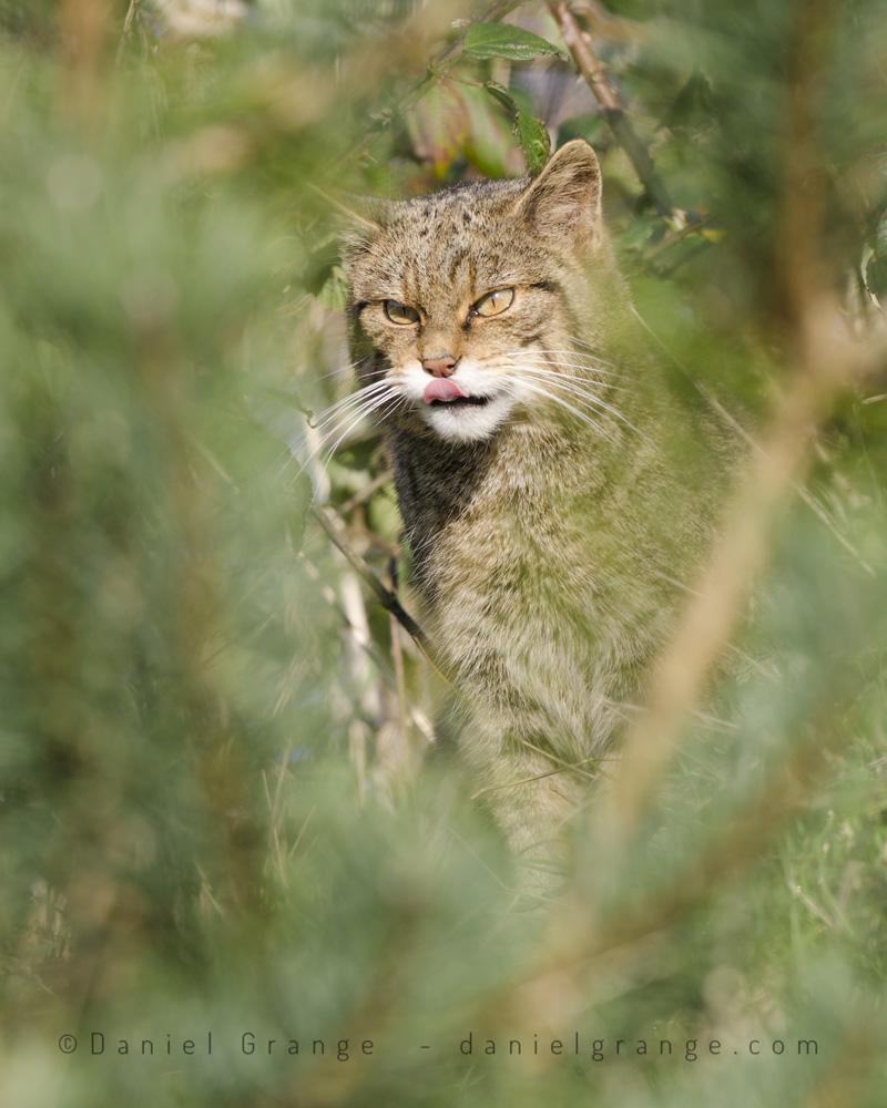 Wild-Cat.jpg