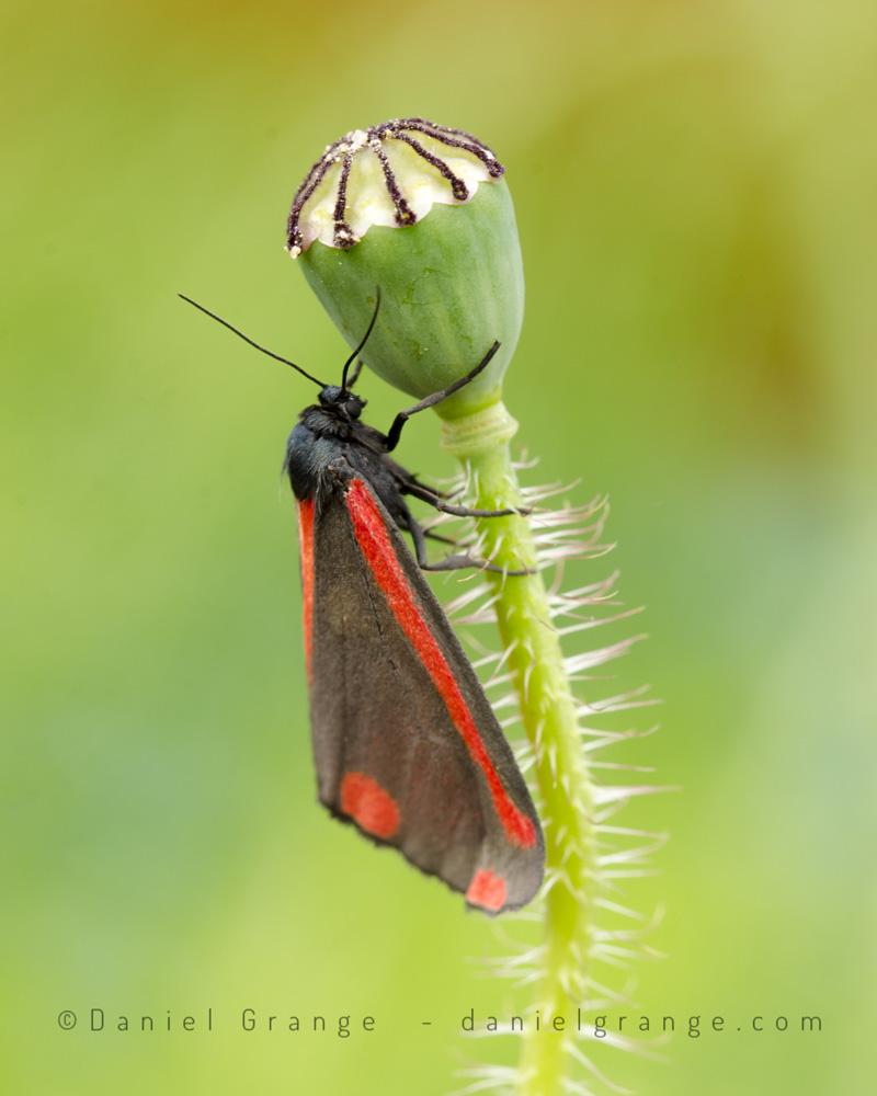 Burnet-Moth.jpg