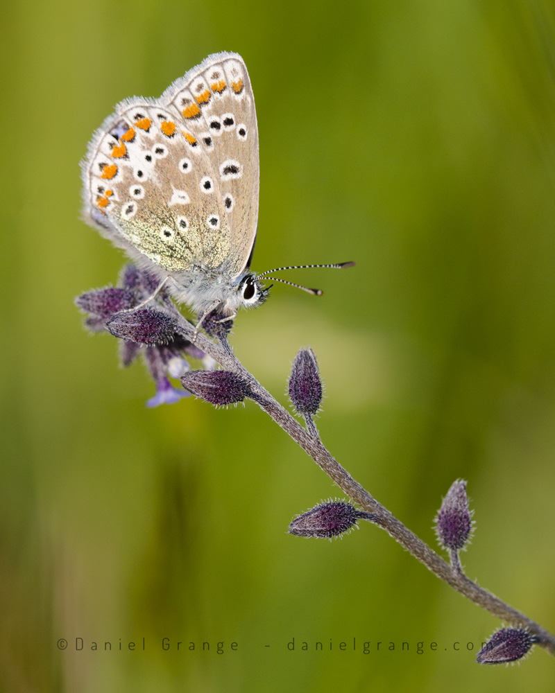 Common-Blue.jpg